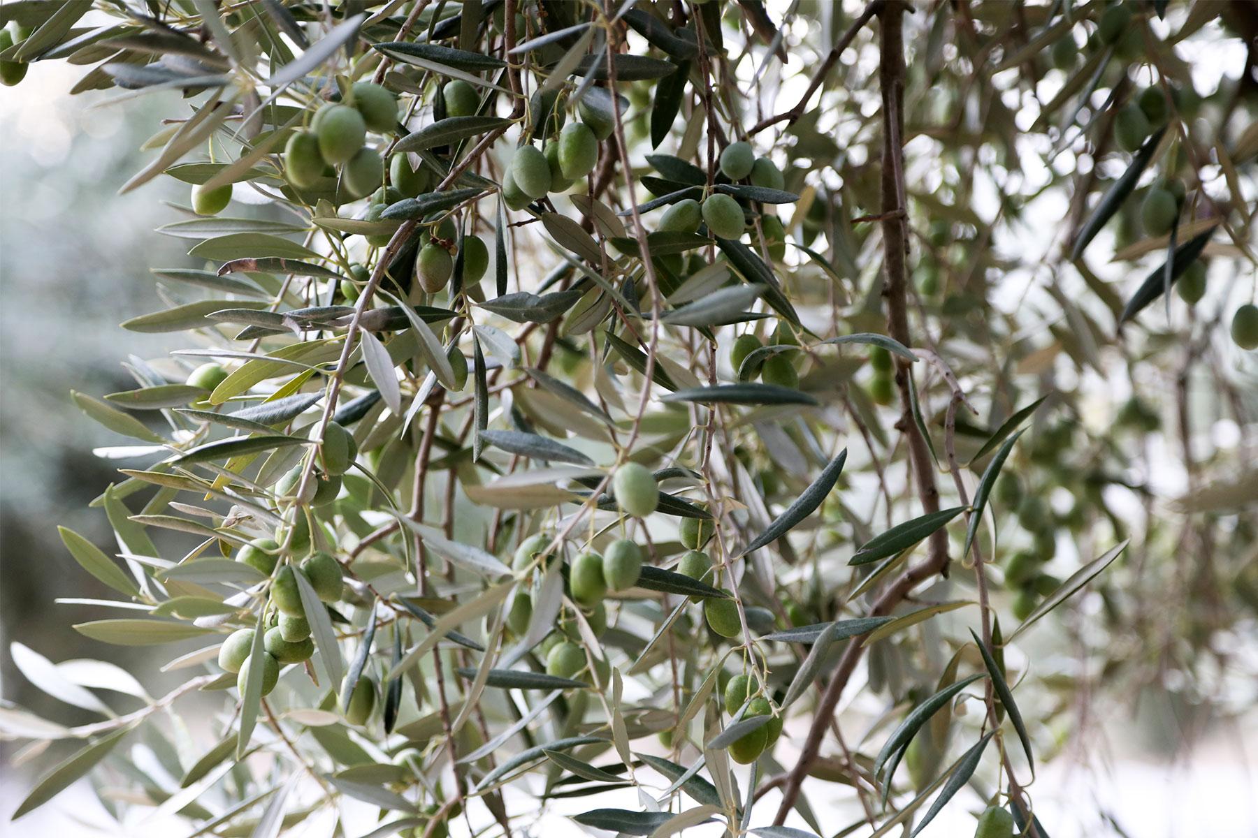Aceitex---Aceite-de-oliva-virgen-extra---Recoleccion-noche2