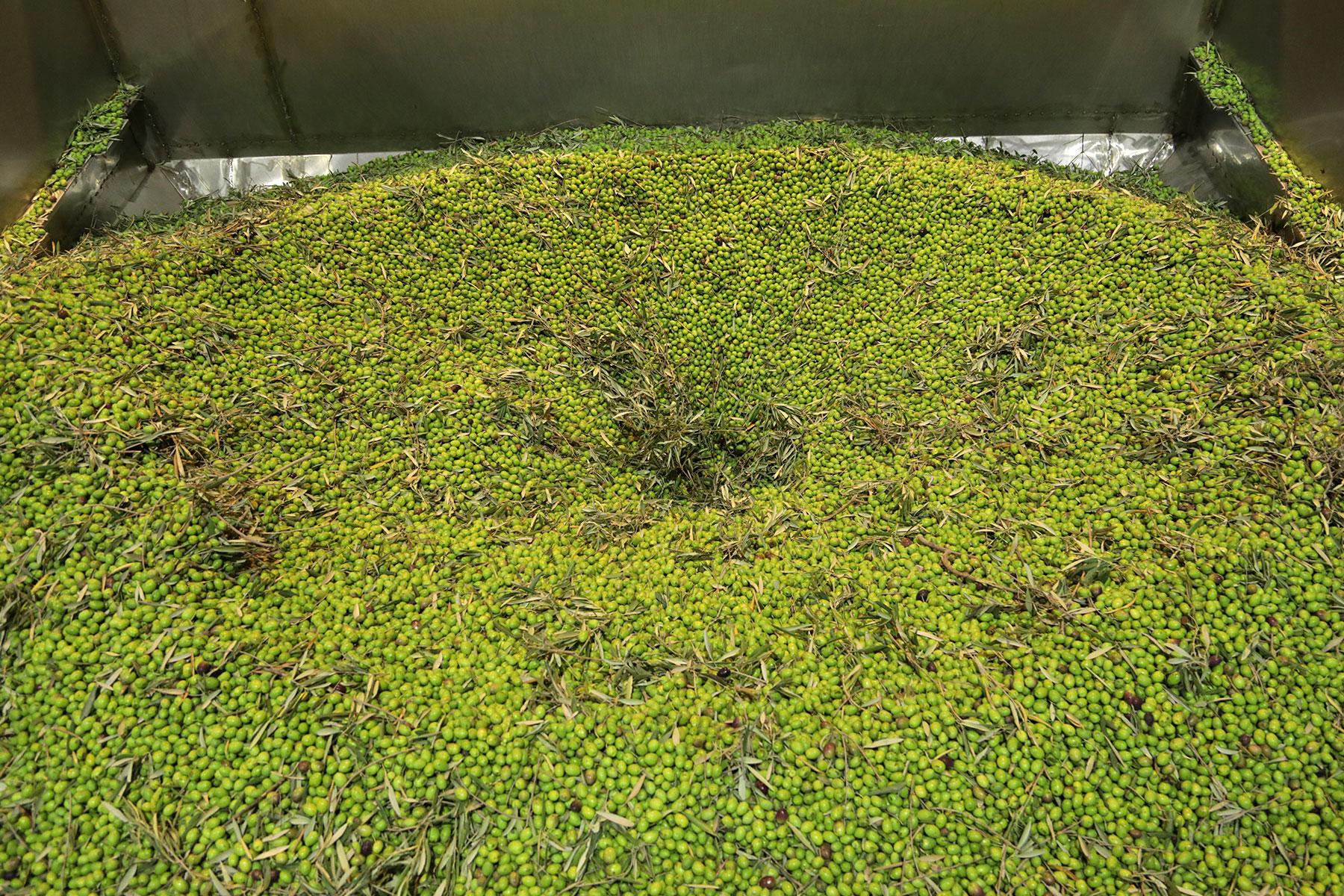 Aceitex---Aceite-de-oliva-virgen-extra---transporte-del-fruto