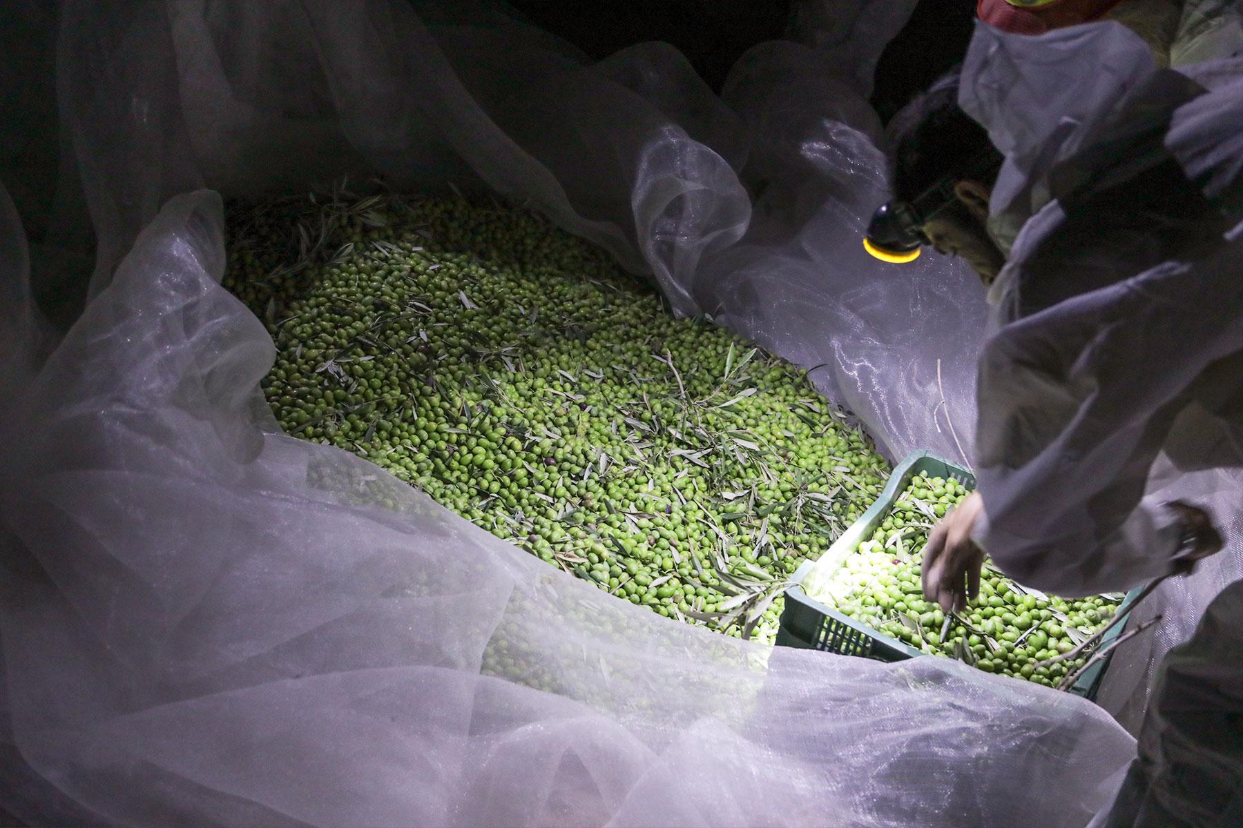 Aceitex-Exportadora---Aceite-de-oliva-virgen-extra---Recogida-nocturna2